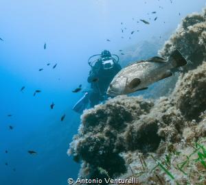 Mediterranean grouper by Antonio Venturelli