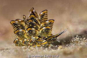 Cyerce nigra. by Mehmet Salih Bilal