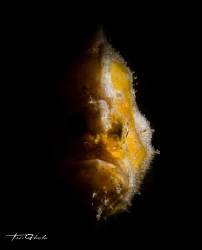 ONE SIDED Frogfish by Ton Ghela