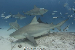 Bullsharks in Playa del Carmen, Mexico by Ramon Magana