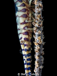 Suspension ...  Sawblade Shrimp - Tozeuma armatum  Ch... by Stefan Follows