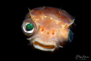 Porcupinefish, Lembeh, Sulawesi. by Filip Staes