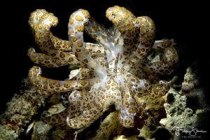 Phyllodesmium longicirrum, Pulau pef hosereef, Raja Ampat. by Filip Staes