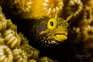 Blenny with craizy hair, Klein Bonaire by Alejandro Topete