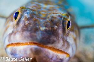 Lizard fish of Bonaire by Beate Seiler
