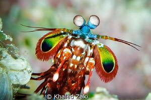 Mantis shrimp Nuvilu Diving by Khaled Zaki