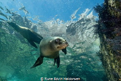 A curious california sea lion is posing by Rune Edvin Haldorsen