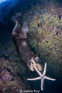 Sea lion chasing a sea star by Leena Roy