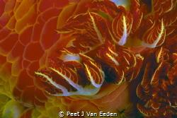 Wild Fire  The Branchial Plumes of a Spanish Dancer by Peet J Van Eeden