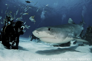 Tiger Beach Bahamas always provides awesome friendships!!... by Steven Anderson