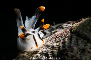 Thecacera picta with snooted backlit. by Mehmet Salih Bilal