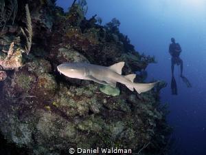 Nurse Shark on reef wall by Daniel Waldman