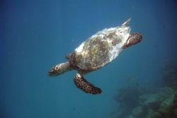 Friendly turtle diving after getting a breath of fresh ai... by Shawn Holm