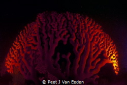 Gorgeous Gorgonian