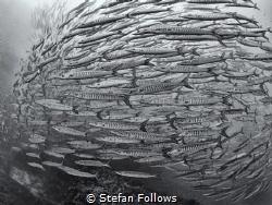 I Think We`re Alone Now  Chevron Barracuda - Sphyraena ... by Stefan Follows
