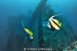 Bannerfishes (Heniochus intermedius) are biting the jelly... by Viktor Vrbovský