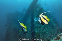Bannerfishes (Heniochus intermedius) are biting the jelly... by Viktor Vrbovský