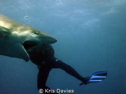 This Oceanic Blacktip was gaping and I shot at the perfec... by Kris Davies