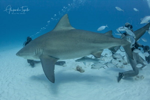 Bullshark Pregnant and divers, Playa del carmen Mexico by Alejandro Topete
