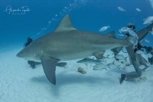 Bullshark Pregnant and divers, Playa del carmen Mexico by Alejandro Topete