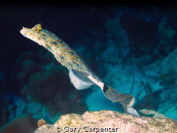 Lift off - Peacock Flounder (Bothus lunatus)   Picture ta... by Gary Carpenter