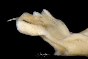Chameleon prawn(Hippolyte varians), Zeeland, The Netherlands by Filip Staes