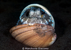 Coconut octopussy. ManadoNikon d800E, 105 macro. two str... by Marchione Giacomo