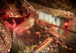 Porcelain Crab Filter Feeding by Vasco Baselli