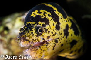 Moray of Bonaire by Beate Seiler
