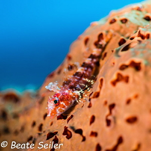 Triplefin blenny of Bonaire by Beate Seiler