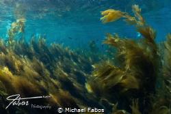 Sunny kelp top at Avalon Dive Park, Catalina Island, Cali... by Michael Fabos