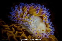 Gas Flame Nudibranch.