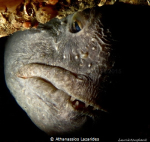 The atlantic wolf fish - Anarhichas lupus by Athanassios Lazarides