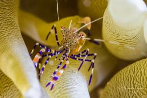 Fantasy Shrimp in anemona, Klein Bonaire by Alejandro Topete