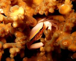 Pink Crab feeding on a coral. Photo taken during a night ... by Doy Tan
