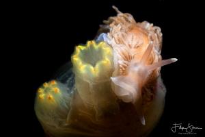Aeolidiella glauca, Zeeland, The Netherlands. by Filip Staes