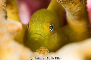 Yellow hairy goby. by Mehmet Salih Bilal