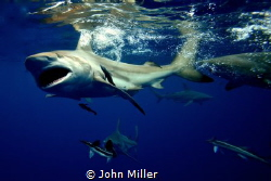 Oceanic Black Tip on a Snorkel dive by John Miller