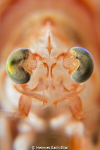 Big eye shrimp. Metapenaeopsis lamellate. shrimp lamellate