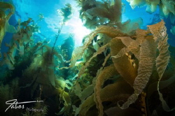 Kelp at Avalon Dive Park, Catalina Island, California by Michael Fabos