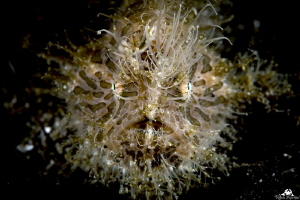 Hairy frogfish by Raffaele Livornese