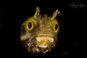 Blenny close up in black, Klein Bonaire by Alejandro Topete