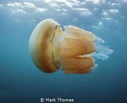 Barrel jellyfish.
