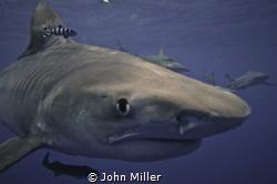 Tiger Shark by John Miller