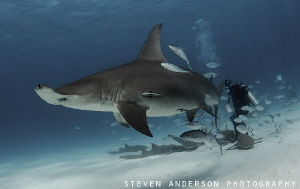 Hammerheads have found their way back to Bimini Bahamas by Steven Anderson