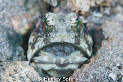 Daddy Jawfish by Henley Spiers