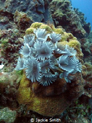 Social Feather Duster  Bispira brunnea by Jackie Smith
