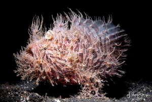 Hairy frogfish, Lembeh Strait, Sulawesi, Indonesia. by Filip Staes