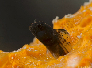 The Red Planet Southern smooth-eye glass blenny by John Roach