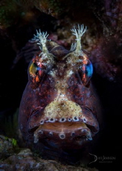 Blenny bloke. by Dave Johnson